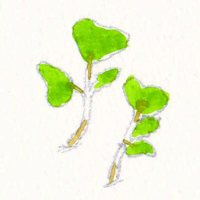 キャベツの芽